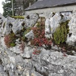 Ferns, white stonecrop and mosses on an old stone wall