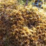 Papillose bog-moss