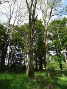 Ballylin-amenity-woodland